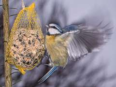Hungry Blue Tit