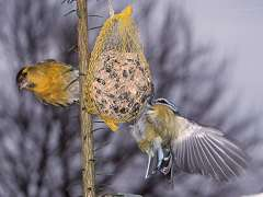 Siskin and Blue Tit