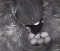 6 eggs in the nest (2008/04/18)